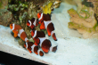 23.07.2009: Clown-Fische (Amphiprion ocellaris)